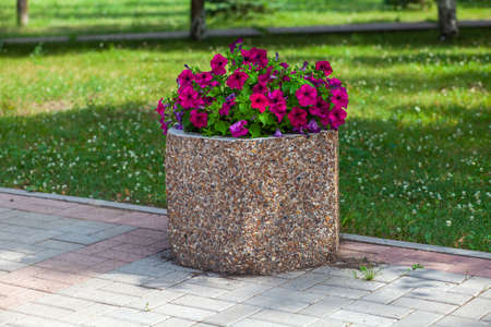 Beautiful petunias in a concrete flowerbed