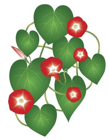 ipomoea: Flower Ipomoea Red Star Illustration