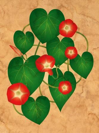 Vine flower Ipomoea red star photo