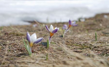 thawed: Three spring crocus on thawed patch