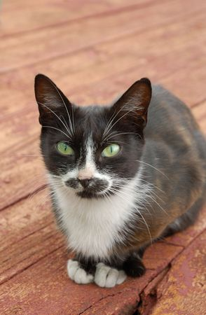 Black and white cat on old red wooden floor photo