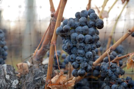 bunch of grapes with net on vineyard