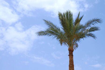 Date palm on blue sky background Stock Photo - 7627194