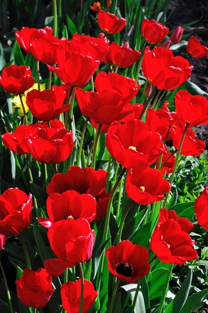 brigh: Flowerbed of brigh red tulips