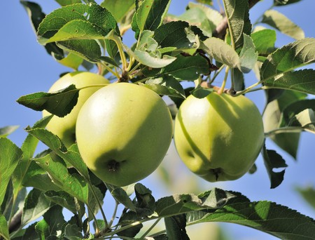 fruitage: Green apples on a branch