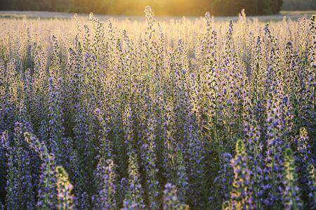 Field of flowers in evening sunlight