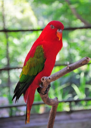 bough: Chattering Lory on a bough