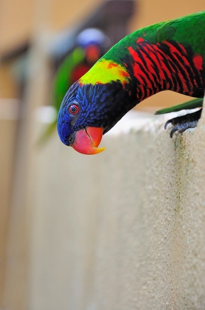 curiously: Rainbow Lorikeet looking curiously