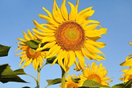 Bright sunflower on sunflower field