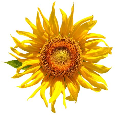 usn: yellow sunflower isolated over