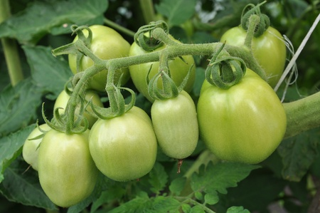 green tomatoes growing on a branch
