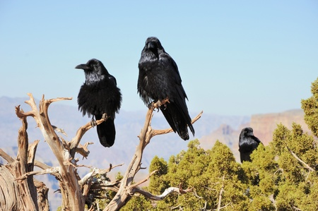three big crows sitting on the juniper branch and mountains far behind photo
