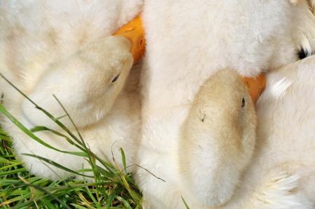 flappers: dos patitos por la que se en la hierba cerca Foto de archivo