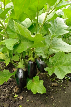 green and purple vegetables: three purple eggplants growing on the bush Stock Photo