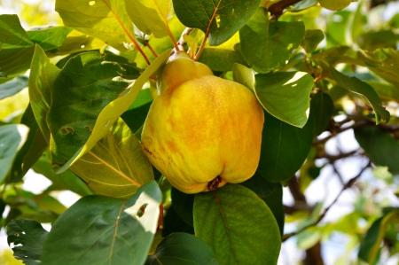 membrillo: Membrillo amarillo grande en el árbol Foto de archivo