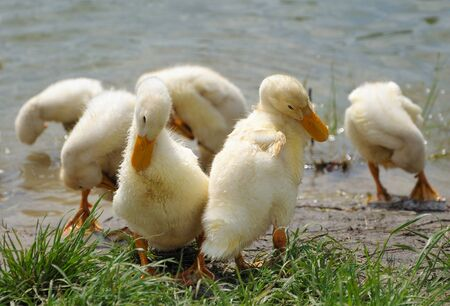 beack: little duckligs are cleaning themselves near the water