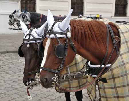blinders: Heads of Brown horses with harness