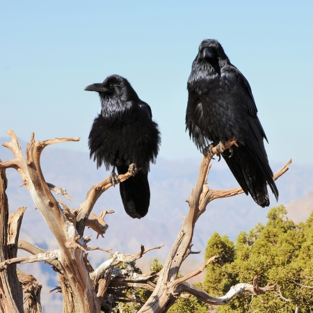 two big crows sitting on the juniper branch and mountains far behind