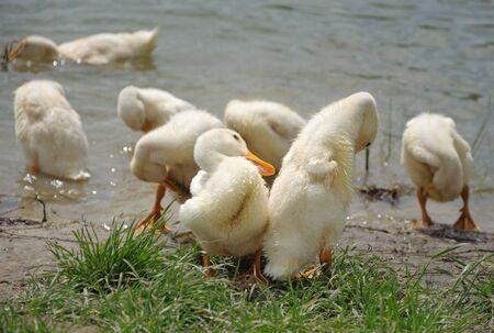 flappers: Bandada de patos domésticos cepillado sí mismos después de watrer