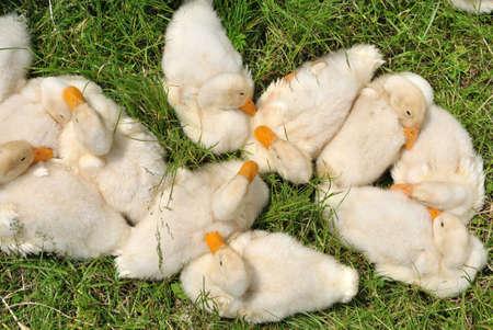 flappers: Bandada de patos domésticos que se en la hierba en la luz del sol Foto de archivo