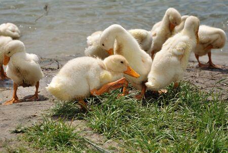 flappers: Bandada de patos domésticos se cepillado después watrer