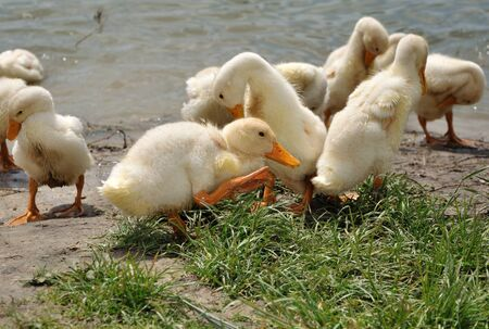 Flock of domestic ducklings brushing themselves after watrer Stock Photo - 17309140