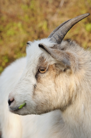 ruminate: Head of a goat chewing Stock Photo