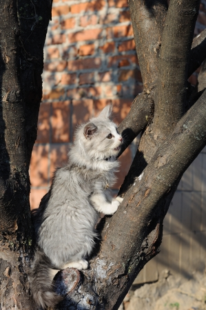 mewing: Young grey cat on a tree mewing