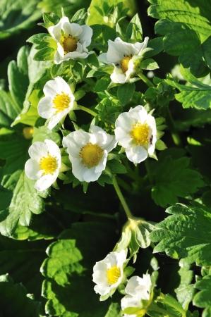 bevoelen: grote grope van aardbei bloemen Stockfoto