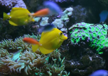 ropical yellow tang on a coral reef photo