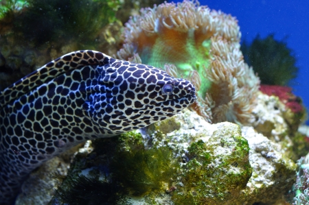 moray: Spotted moray in coral reef