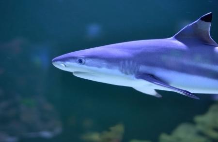 reef shark mooving Stock Photo - 18534416