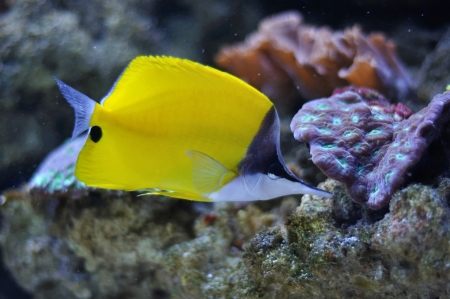 a tropical yellow surgeon fish swimming Stock Photo - 18534422