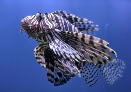 lionfish in blue water photo