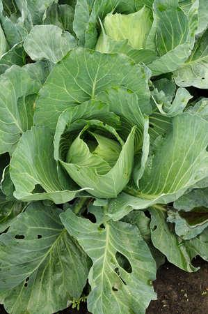 ovario: ovario de la col verde en hoja-cama