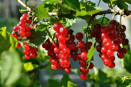 Branch of of ripe redcurrant growing lit with sunlight photo