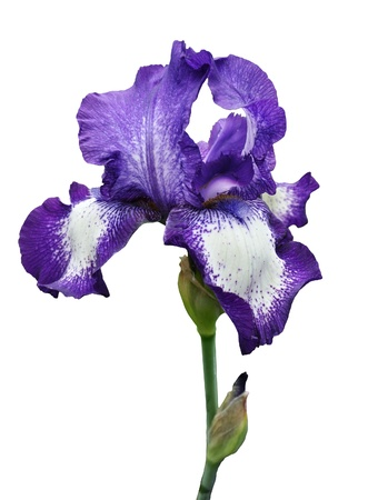 tallo: flor violeta iris aislado en el fondo blanco Foto de archivo