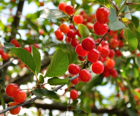 Bright red cherries growing on the branch
