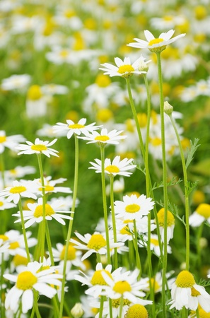 Field of white daisies as background photo