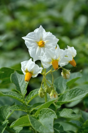 potato bush with white flowers photo