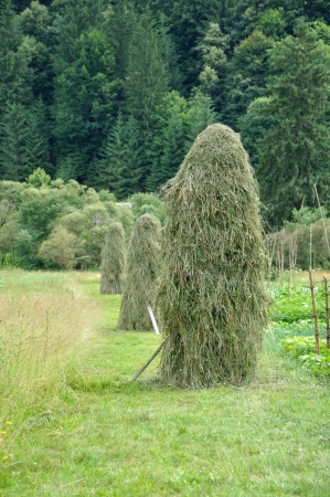 mow: green hay mow in ukrainian Carpathian
