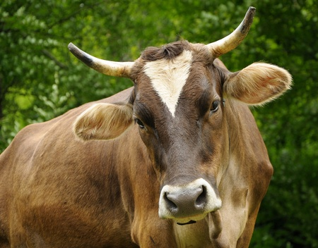 kine: Portret of Brown cow with long horns