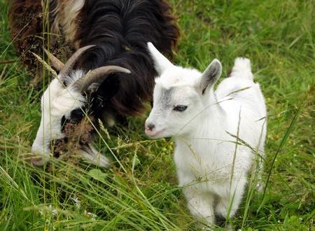 nanny goat: Nanny goat and white kid in the grass Stock Photo