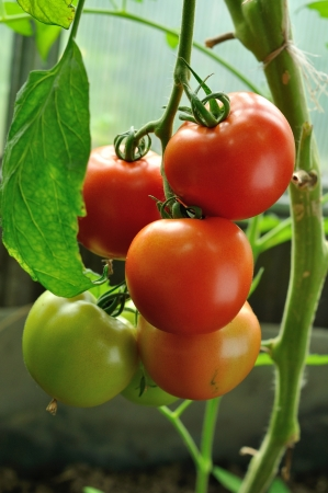 branch of red tomatoes with ripe and unripe vegitables photo