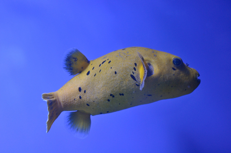 Yellow fugu fish as I know in blue water photo