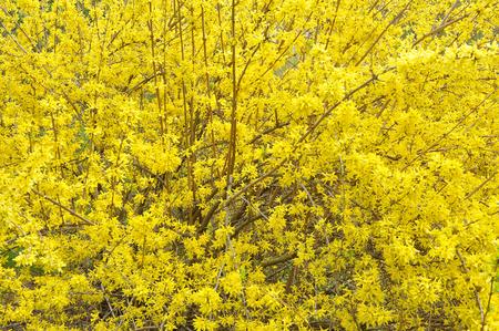 big yellow bush of Forsythia in blossom