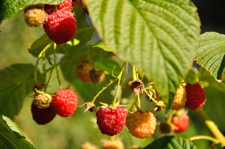 Branch of ripe red raspberry in sunlight photo