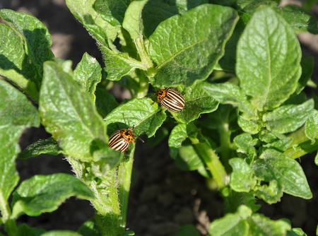 Two Colorado beetles on the leaf of potato bush photo
