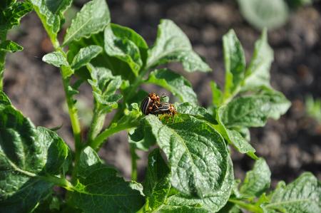 coitus: coitus of two Colorado beetles on potato bush