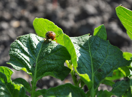 Colorado beetle on the leaf of potato bush photo